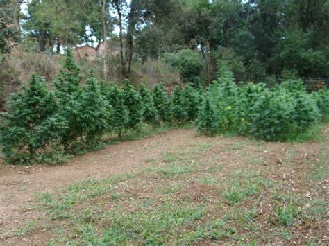 comment faire pousser du cannabis sur terrasses du growshop alchimia
