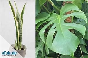 Große Zimmerpflanzen Pflegeleicht : gro e zimmerpflanzen 5 pflegeleichte pflanzen f r drinnen ~ Markanthonyermac.com Haus und Dekorationen