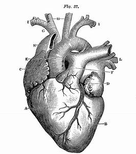 Royalty Free Images - Anatomical Heart - Vintage - The ...