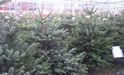 Christmas Trees Horsham-rushfields Plant Centre