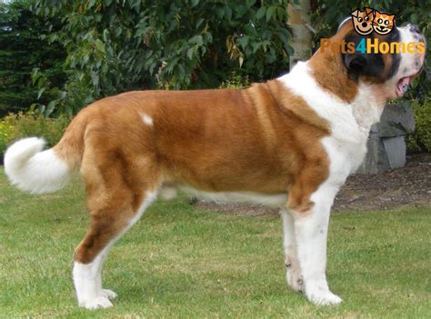 smooth coat bernard puppy breeds picture
