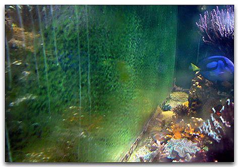 les algues ind 233 sirables pestes de l aquarium