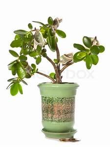 Feng Shui Pflanzen Reichtum : potted stammwerk crassula mit dollarnoten in bl tenform auf wei em dieser pflanze isoliert ist ~ Markanthonyermac.com Haus und Dekorationen