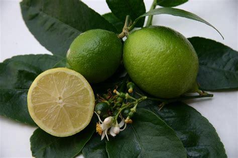 citrus latifolia de tahiti citronnier vert lime tahiti bears