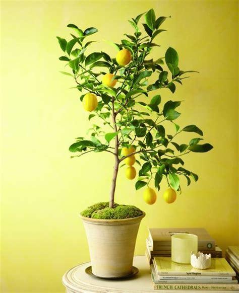 25 best ideas about citronnier on bouture citronnier citronnier vert and planter