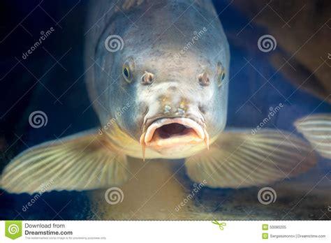 poissons de carpe dans l eau d ubder d aquarium ou de