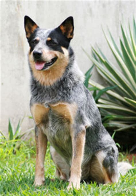 meet the queensland heeler learn about its size shedding and more