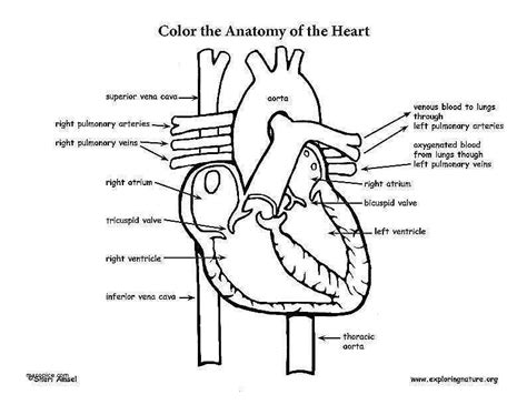Cardiovascular System Worksheet Homeschooldressagecom