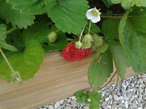 parc 224 fraises facile d entretien jardins du nord forum r 233 gional site de conseils en