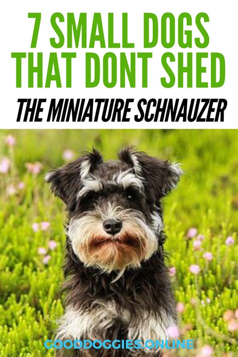 Dogs That Dont Shed Their Fur by 7 Adorable Small Dogs That Don T Shed Doggies