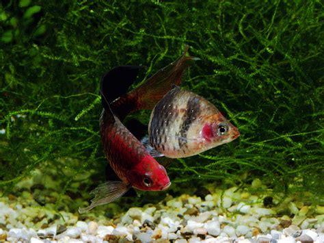 freshwater aquarium fish information 2017 fish tank maintenance