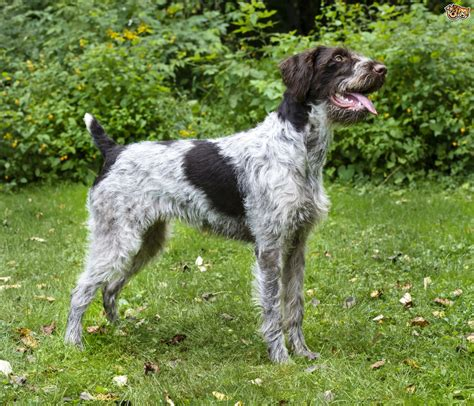 german wirehaired pointer non shedding 28 images german wirehaired pointer personality