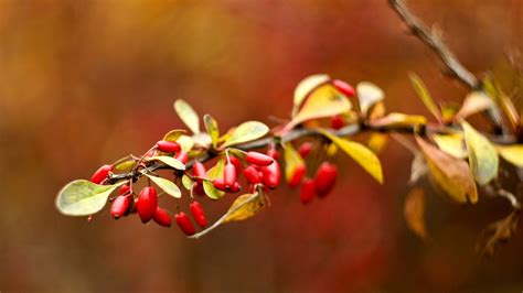 Red Berries, Briar, Leaves 1242x2688 Iphone Xs Max Wallpaper, Background, Picture, Image Iphone 6s Wallpaper Size Plus 16gb 5s Gsmarena Quora Jailbreak Ios 12 Space Grey Gagal Booting Wifi Problem