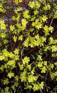 Jasmin Zimmerpflanze Pflege : winter jasmin jasminum nudiflorum garten pinterest pflege bl ten und gelb ~ Markanthonyermac.com Haus und Dekorationen
