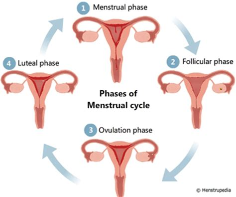 during menstruation why doesn t the entire uterine lining