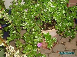 Lorbeer Gelbe Blätter : pflanzen f r unbeheizten wintergarten mein sch ner garten forum ~ Markanthonyermac.com Haus und Dekorationen
