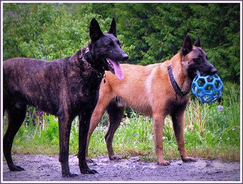 belgian malinois vs german shepherd shedding belgian malinois vs shepherd breeds picture