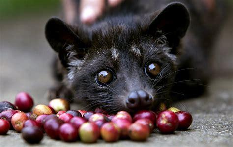 What is Cat  Coffee? (aka Kopi Luwak Coffee)