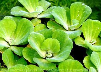 vends des boutures de plantes d aquarium a pousse rapide 76