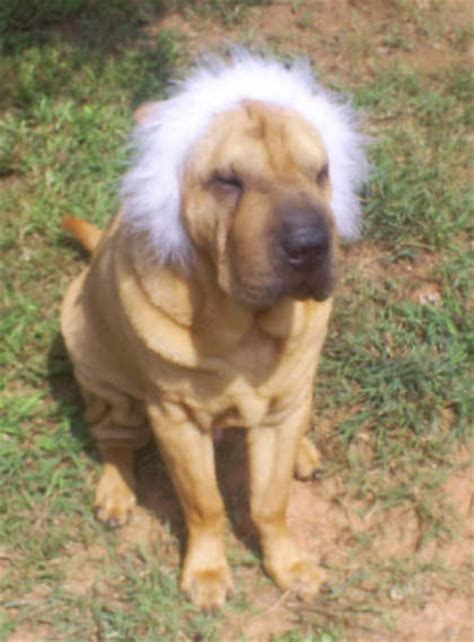 do shar pei dogs shed hair haired beagle mix puppies breeds picture