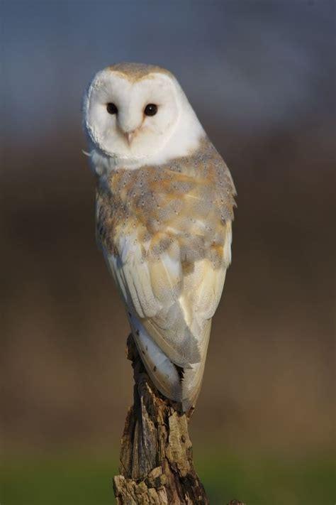 barn owl for barn owl owls