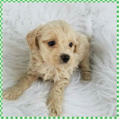 Non Shedding Small Dogs For Adoption by Hypoallergenic Puppies For Sale In Cincinnati Breeds
