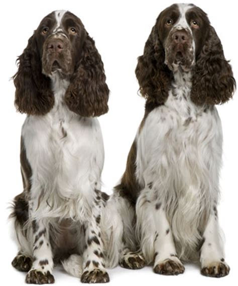 how to an springer spaniel breeds picture