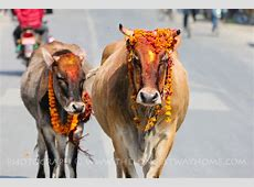 The Cow festival Day three of Tihar in Nepal