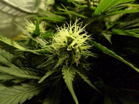 r 233 colter votre cannabis quand est le bon moment