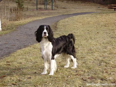 low shedding large breed dogs breeds picture