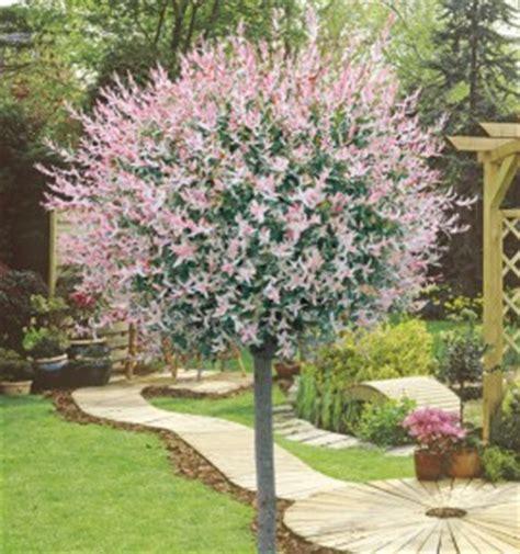 arbustes pour terrasses balcons jacques briant plantes en ligne p 233 pini 232 res jacques briant