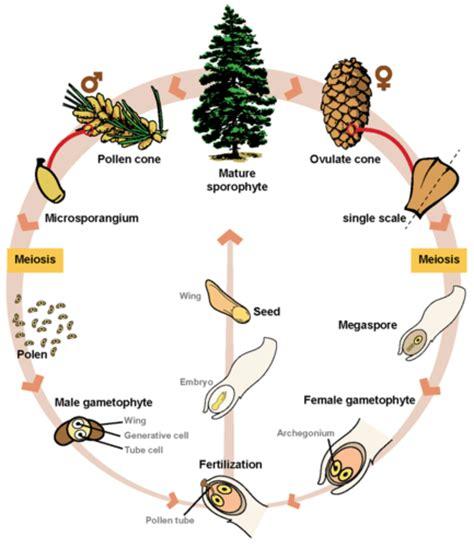 Biology 10 Topic 6c Vascular Plants Flowering Gymnosperms