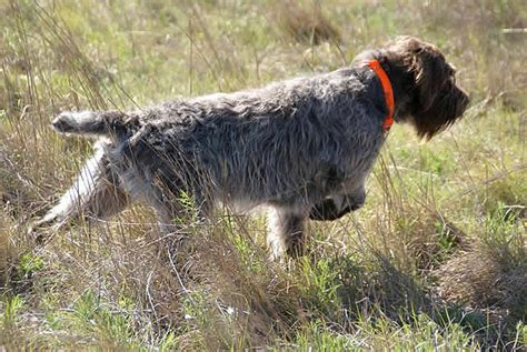 american wirehaired pointing griffon association home