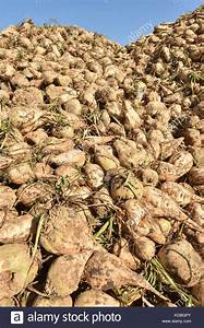 Sugar Beet Cultivation Stock Photos & Sugar Beet ...