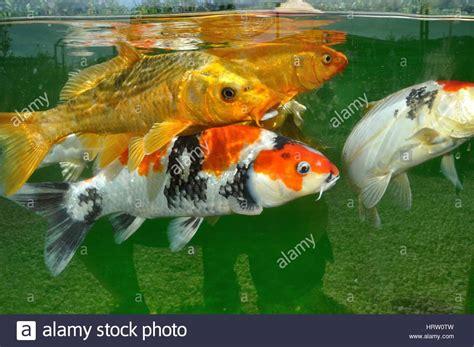 carpes koi dans un bassin stockfoto lizenzfreies bild