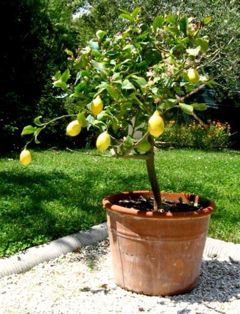 1000 id 233 es sur le th 232 me arbre en pot de citron sur bordures de pelouse r 233 pulsif 192