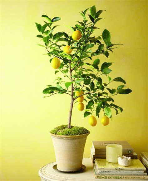 fruitier en pot agrumes et plantes exotiques 224 la maison