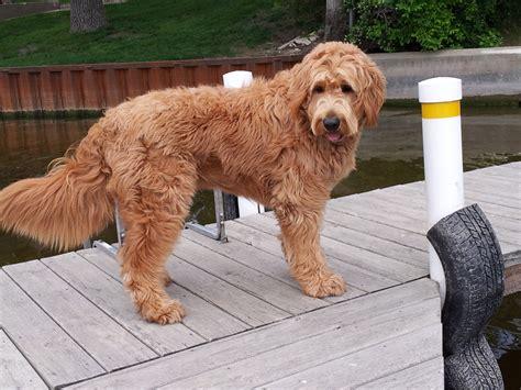 standard f1 goldendoodle breeds picture
