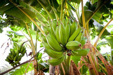 engrais bananier composition crit 232 res de choix ooreka