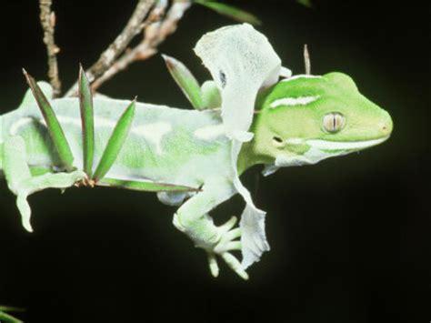 shedding gecko