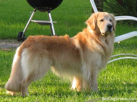 low shed dogs large large breeds with low shed breeds picture