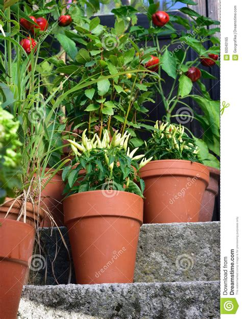 container garden vegetables plants in pot stock photo image 60040165