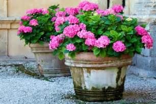 image gallery hydrangeas in containers