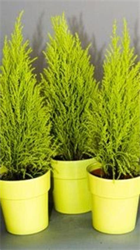 un conif 232 re au parfum citronn 233 gingras jardiner