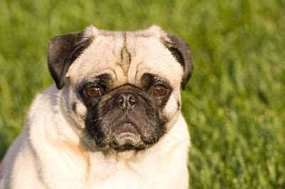 does puggle shed a lot how to minimize shedding in pugs