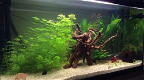 combien de neritinas dans un aquarium de 100 litres