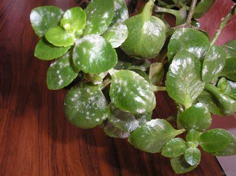 forums de jardinage afficher le sujet plante grasse malade ou attaquer par des parasites