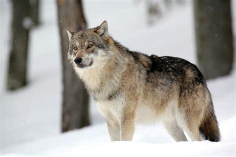 encyclop 233 die larousse en ligne loup variante dialectale de l ancien fran 231 ais leu du lupus