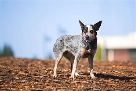does a blue heeler australian shepherd mix shed a lot if so how can this be treated
