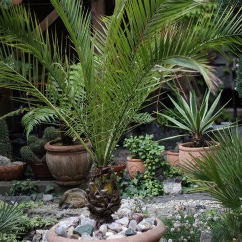 arbuste persistant en pot resistant au froid inspiration du
